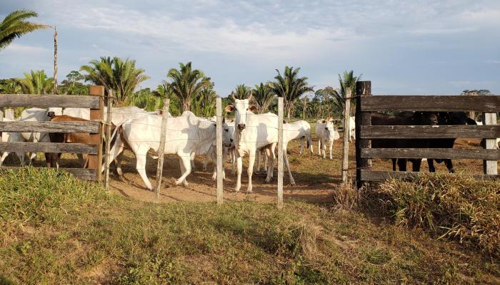 Brasil:Criação ilegal de gado alimenta a destruição da Amazónia
