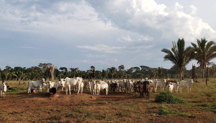 Brasil: gado bovino criado ilegalmente na Amazónia encontrado na cadeia de fornecimento da JBS