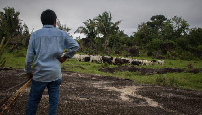Não queremos gado bovino criado ilegalmente na Amazónia